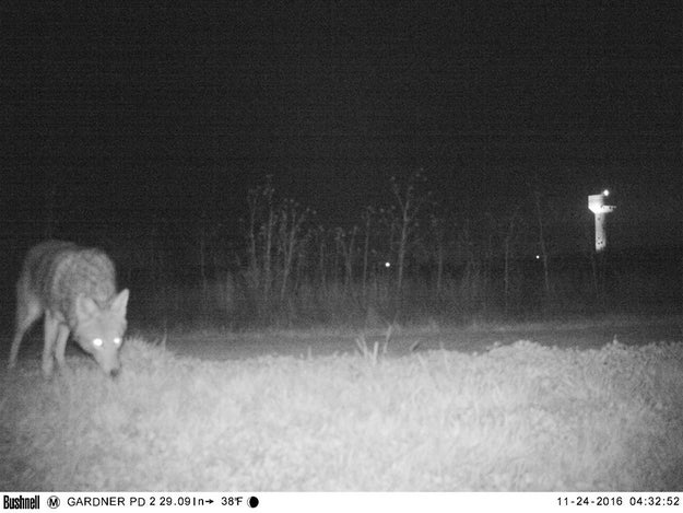 Like this coyote.