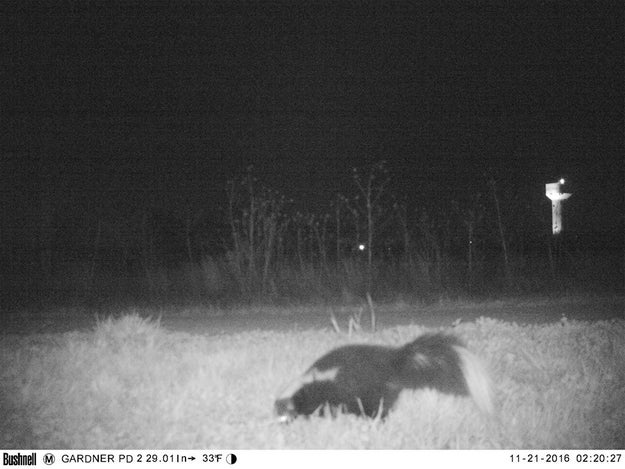 Hello. This is a photo of a skunk in Gardner, Kansas, captured on a remote camera set up to investigate reports of a mountain lion in the area.