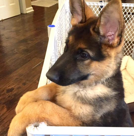 Say hello to adorable German shepherd pup Leonardo.