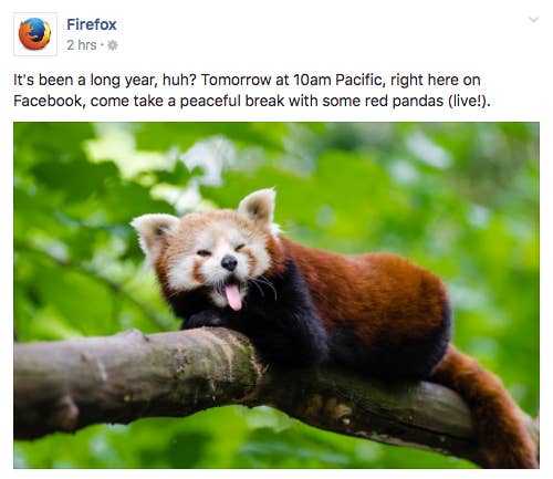 Red pandas, which are native to Nepal, Myanmar, and central China, are sometimes called firefoxes. They are considered a vulnerable species by the International Union for Conservation of Nature due to poaching and habitat loss.