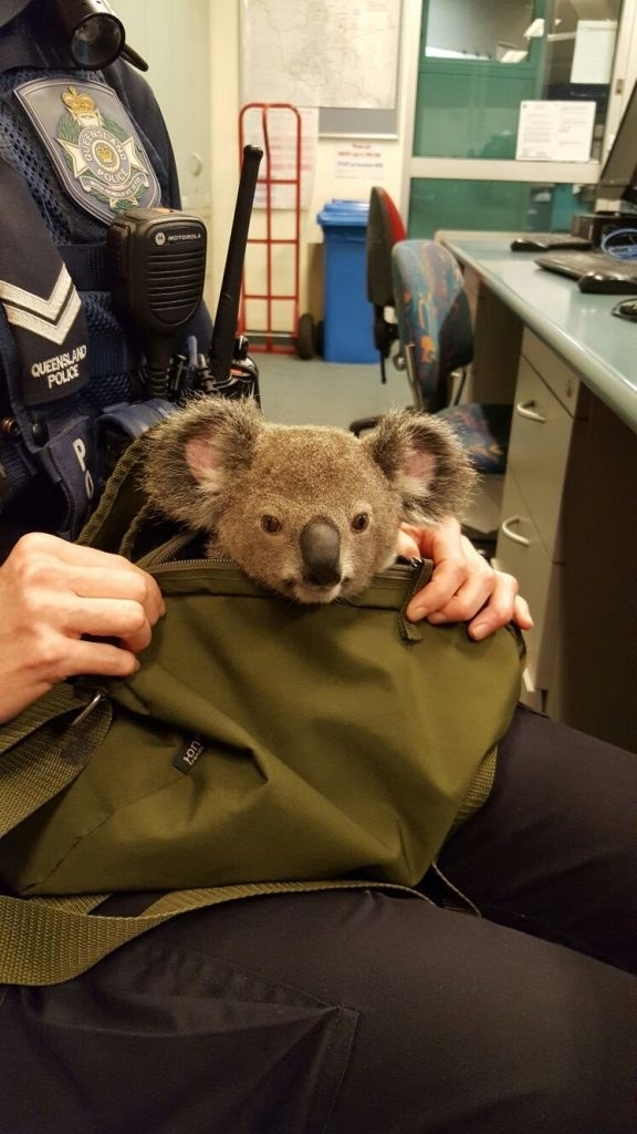 When the Brisbane woman was subsequently arrested, she turned over her canvas bag to officers, explaining there was a joey inside.