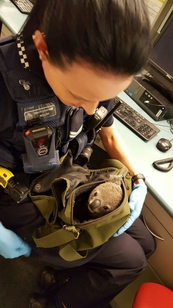 Incredulous staff opened the bag to discover a dehydrated – but otherwise well – baby koala.