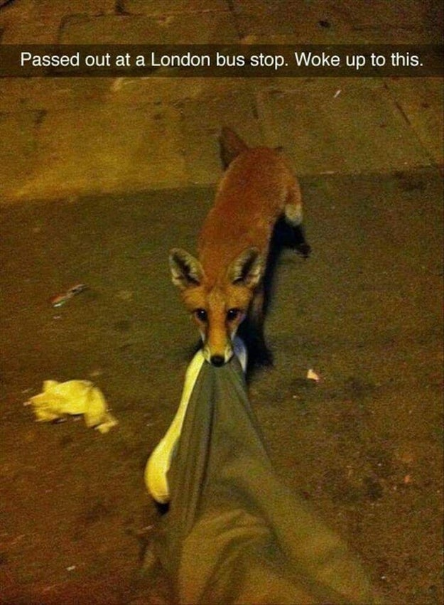 This London fox, which is attempting to steal a drunk man's trousers.