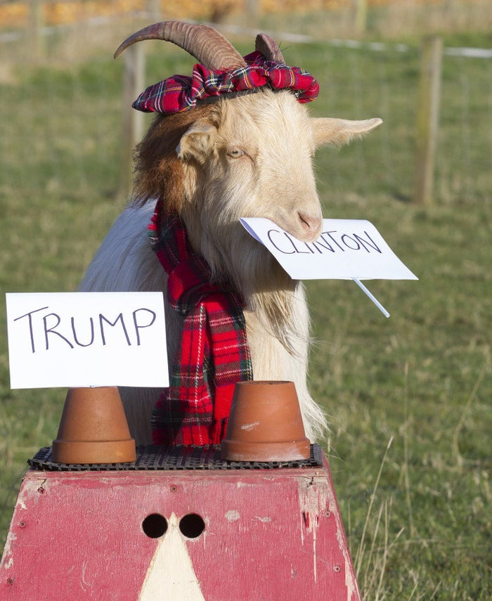 This stylish 3-year-old Golden Guernsey from Jedburgh, Scotland, turned out to be a firm Clinton supporter after sharing his decision with the world on Nov. 7.