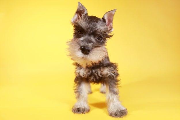 Lo único que quiere este cachorrito schnauzer es que te sientas mejor.