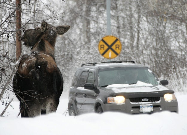 "Parkgoers are advised to use their horn or car alarm to scare off any moose licking their cars. The warning also says to ""not attempt to push moose away from your vehicle while on foot."""