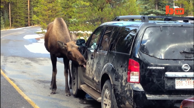 Nothing lures a moose quite like a nice salty car.