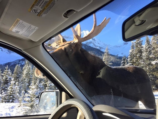 They'd heard reports about moose treating salty cars like lollipops, but they didn't think they'd actually get to witness it firsthand.