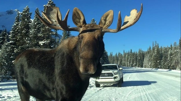 Okay, remember how we told you Albertans were warned about car-licking moose?