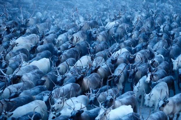 """""""Reindeer Herding In Russia's Arctic"""" — Reuters"""