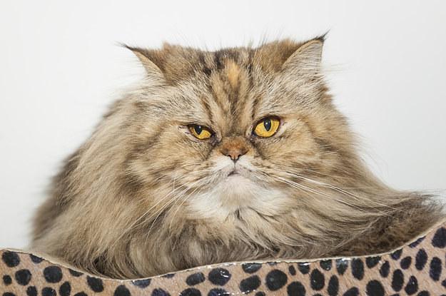 Nur echte Katzenmenschen schaffen mindestens 11/13 in diesem Quiz