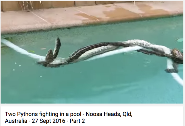 And there was the HORRIFIED woman who found two pythons fighting in her pool — over the love of a third snake.