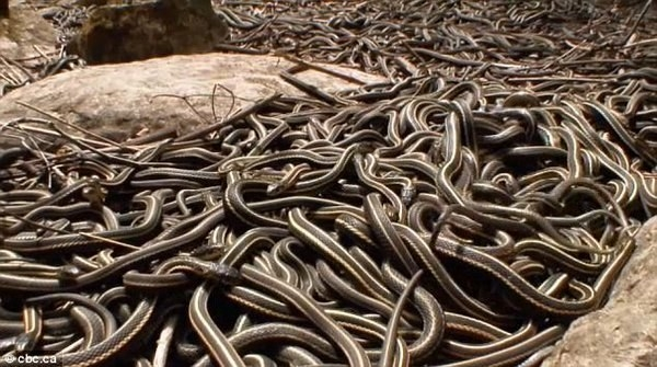 Up in Canada, 75,000 snakes awoke at once for mating season. Also, our nightmares awoke.