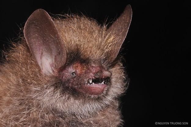 Wooly-Headed Bat