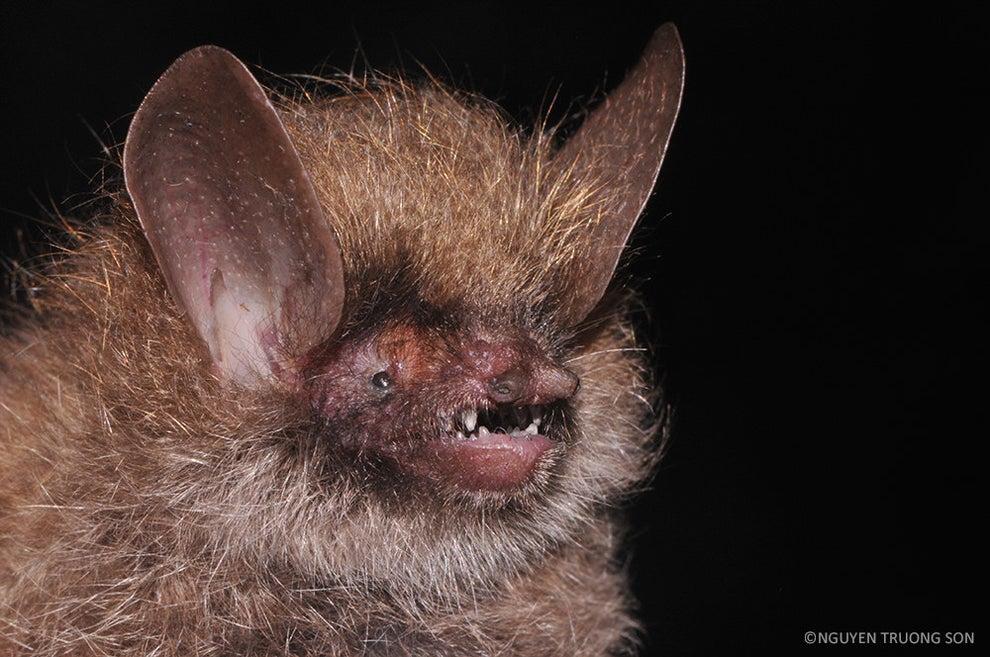 Wooly-Headed Bat
