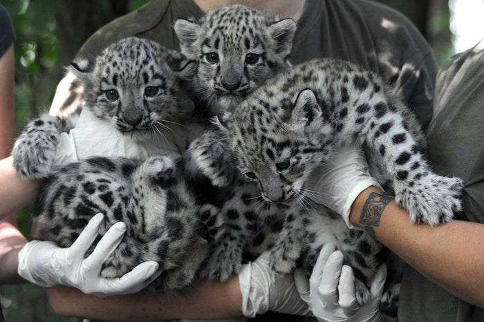 Three six-week-old snow leopard cubs are held by zookeepers in Hungary.