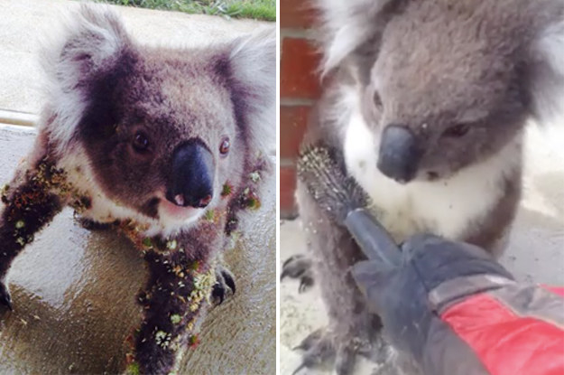 Thousands of people watched an Australian man brush prickles out of a koala's fur after he posted the video on a community Facebook page last week.