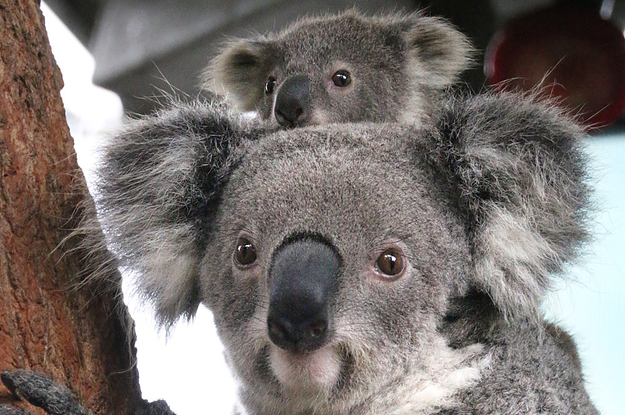These Baby Koalas Are Newly Out Of The Pouch And Omg They
