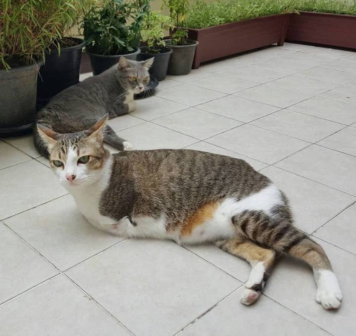 This Cat Who Lost His Two Front Legs Now Walks Like A T Rex - 29 cats lost way life