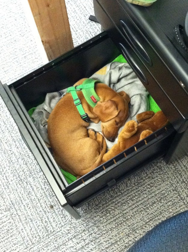 This dog who is comfortable and happy in its owner's desk drawer.