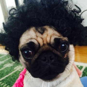 An afro wig for dogs.