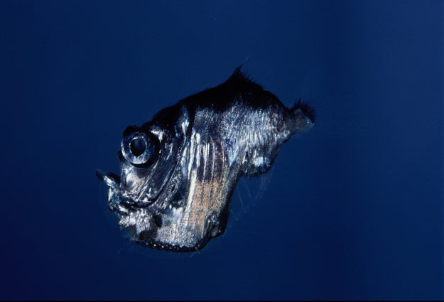 A deep sea hatchetfish