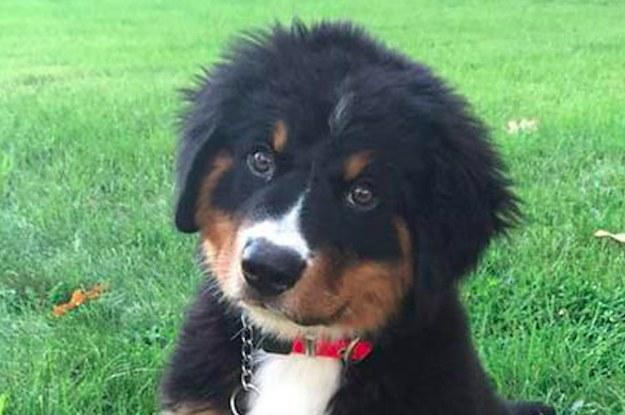 Buzzfeed Dog Breeds Quiz