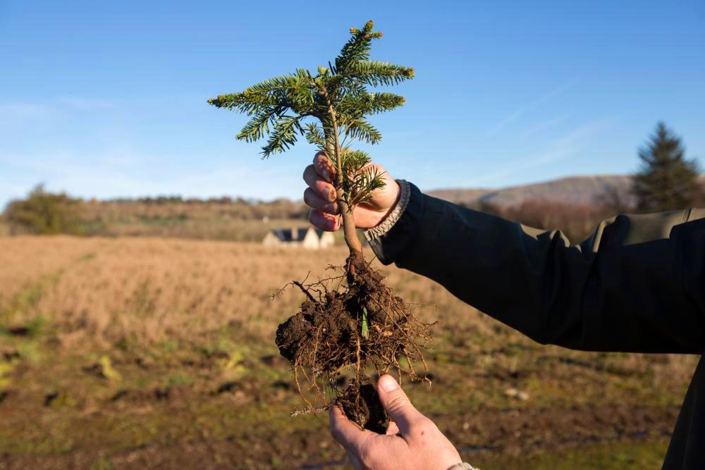 pine tree essay