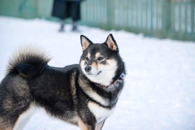 アコちゃんは、ときどき「犬と思ってないのでは?」「会話の内容がわかっている」と思われることがあるそうです。