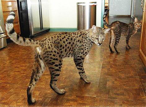 "Savannah owners describe them as ""a cat that looks like a leopard with the temperament of a dog."""