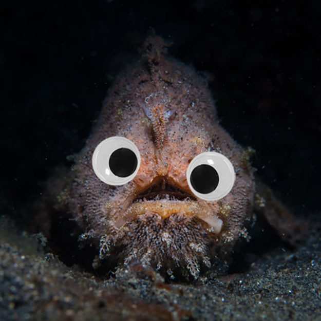 This hair frogfish would normally look like something from your nightmares, but with googly eyes...BOOM! Way better.