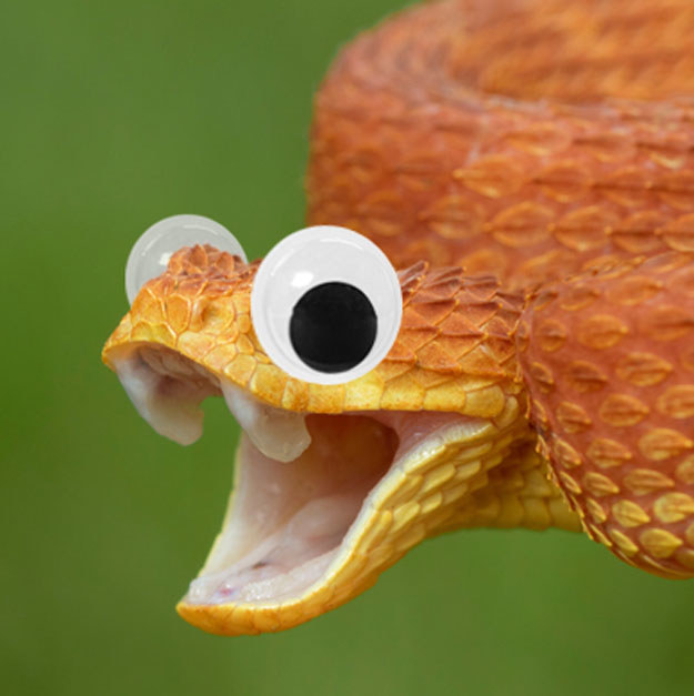 This normally angry, venomous, bush viper actually looks very happy to see you with his googly eyes on.