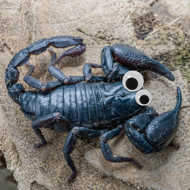 This scary AF scorpion looks like he's just here to make friends with googly eyes on.
