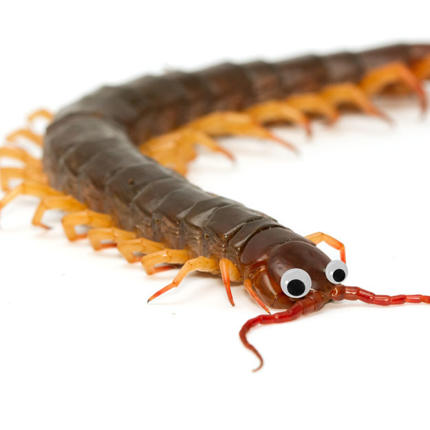 "This traditionally yucky brown centipede looks more like a ""Mr. Centipede"" with those adorable googly eyes."
