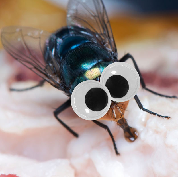 This feasting fly looks pretty adorable, TBH, with googly eyes.