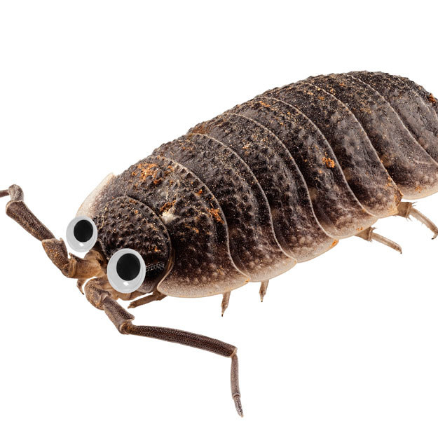 This woodlouse would normally make me want to vomit, but with googly eyes it's A-okay.