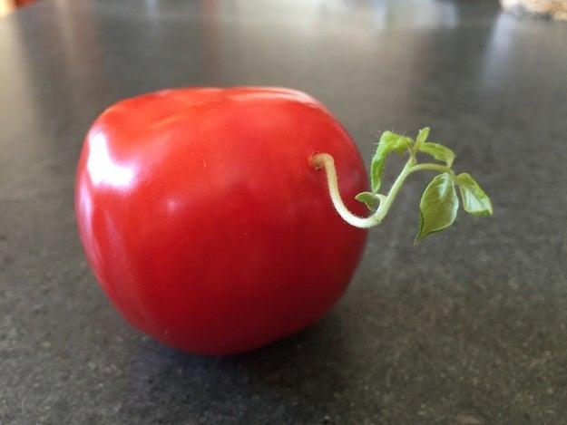 Este tomate con brote: