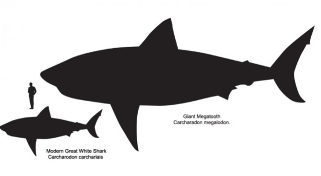 The sharks we know of today are tiny compared to their ancient shark ancestors. The Giant Megatooth shark was large enough to eat a whale.
