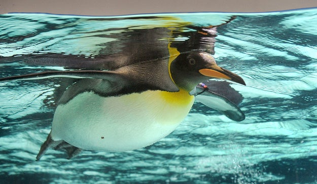 Penguins can swim as fast as 25 miles per hour underwater.