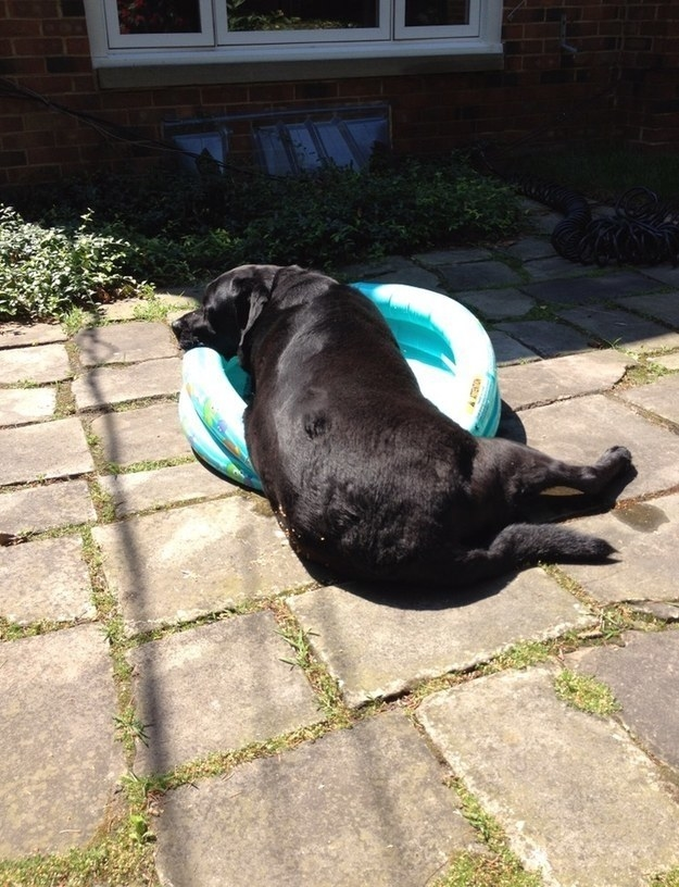 A big dog looking massive next to a kiddie pool