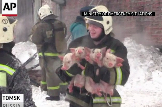 Watch These Firefighters Carry Bundles Of Piglets Out Of A ...