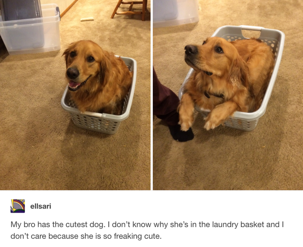 And finally, this perfect pup enjoying her laundry basket.