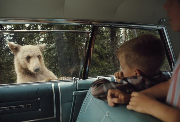 And until the early '60s, people would feed bears from their car windows.