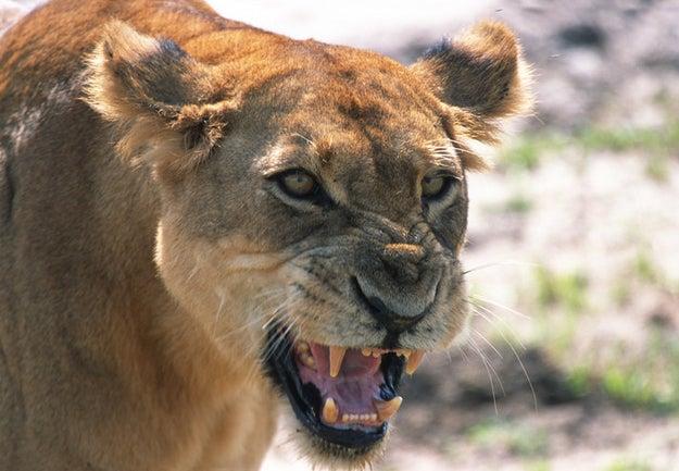 MOTHERFUCKIN' LIONS