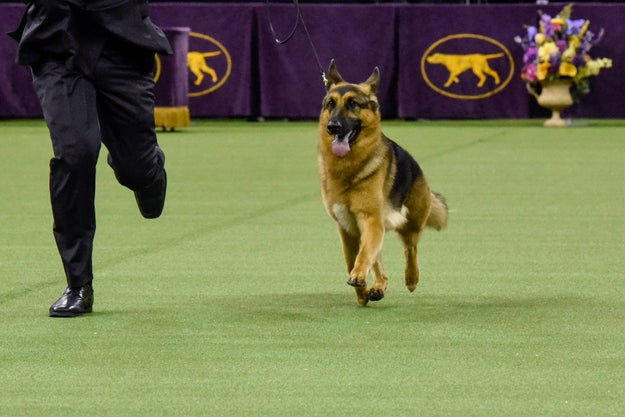 Rumor has it. This German shepherd beat out more than 2,800 other dogs Tuesday night to win the prestigious Best In Show at the 141st Westminster Dog Show.