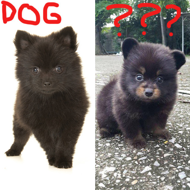 On the other hand, it kiiind of looks like a Pomeranian puppy, so it could be the cutest hybrid dog ever created.