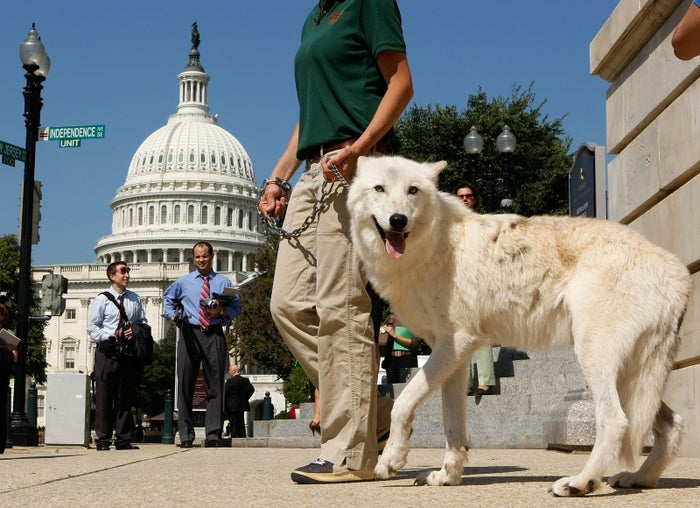 Five-year-old Arctic Gray Wolf Atka leaves a 2007 news conference to introduce legislation to stop aerial hunting of wolves from aircrafts in Alaska.
