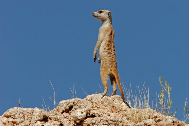 BET YA WEREN'T EXPECTING MEERKATS
