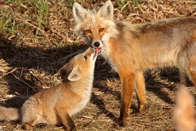CUTE LIL' RED FOXES
