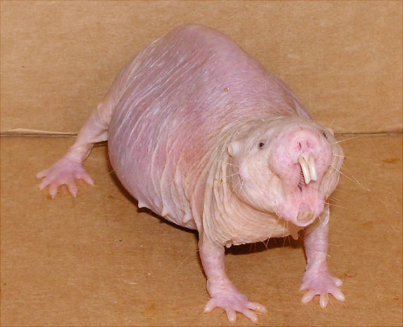 AND FINALLY, NAKED MOLE RATS